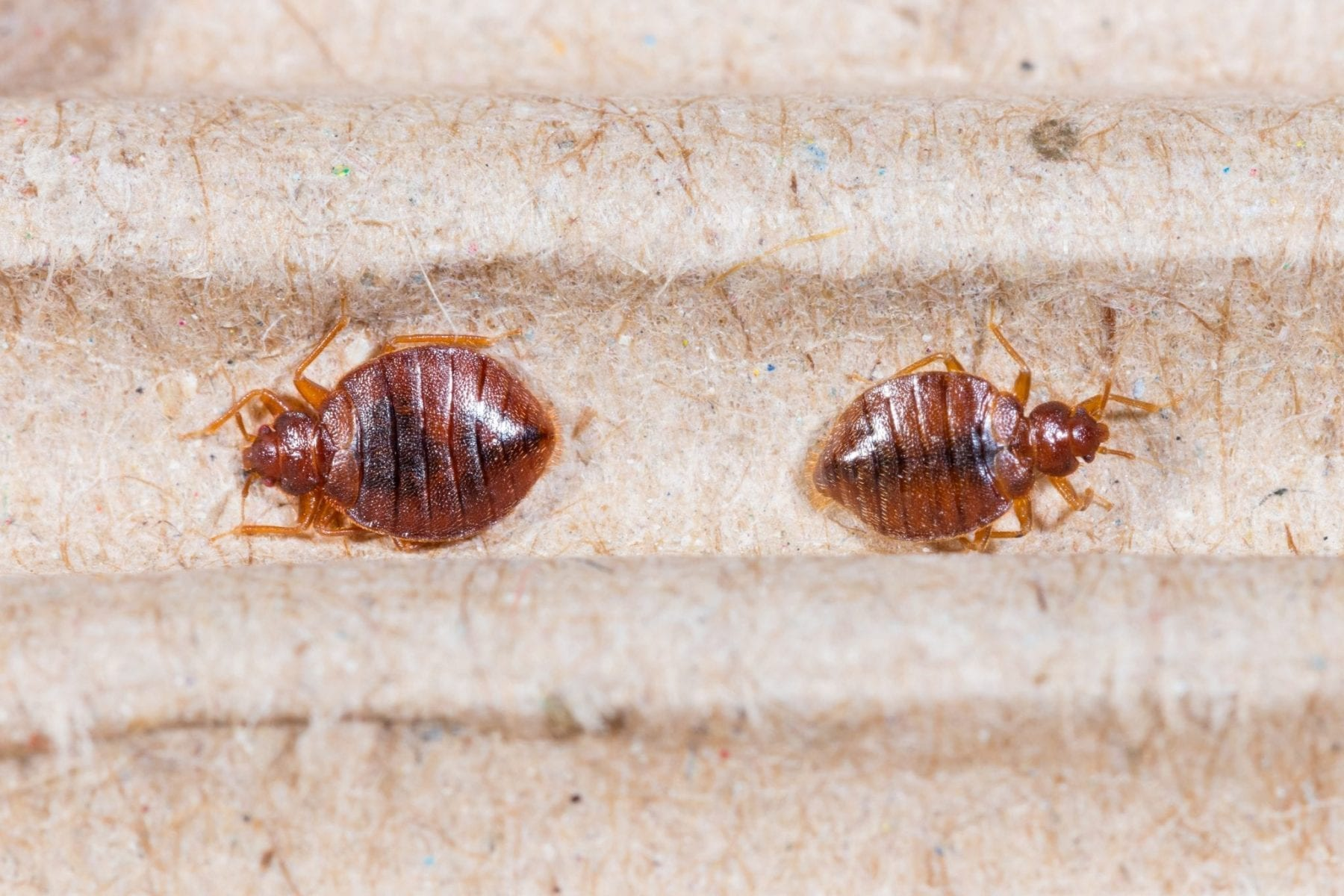 pictures of bed bugs - HD1920×1280