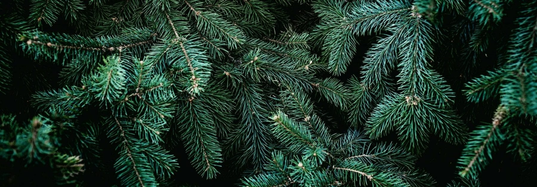 Christmas tree branches that can contain bugs
