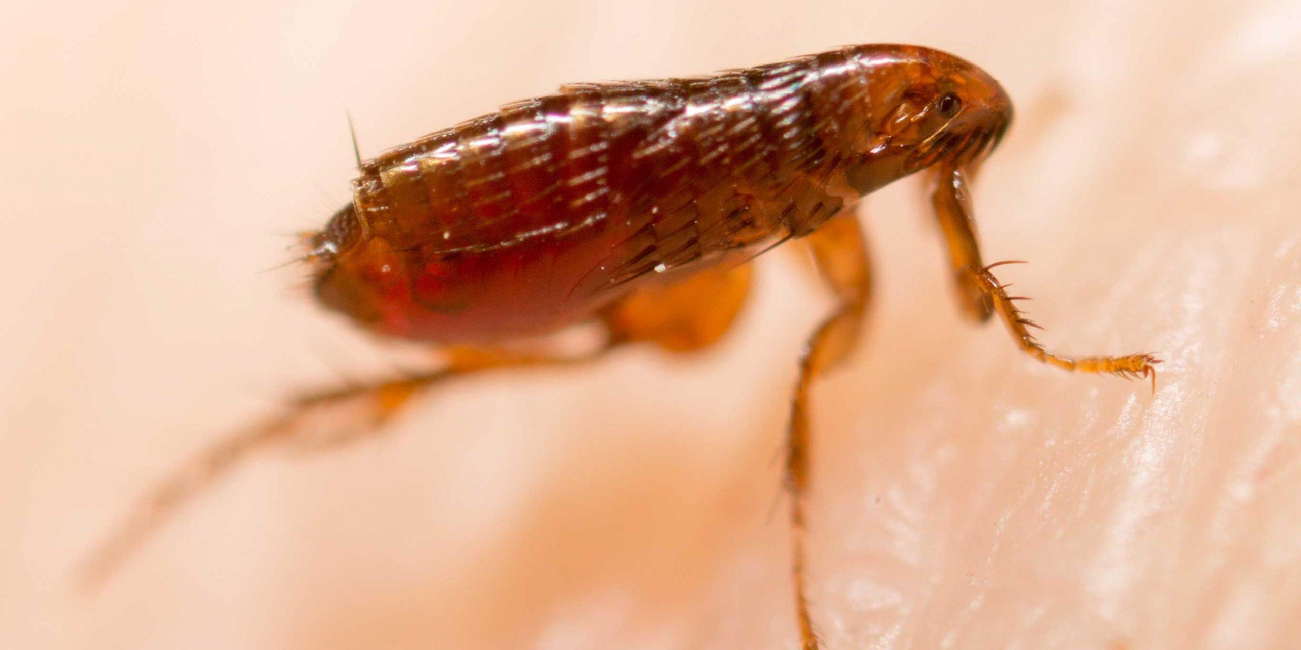 Bed Bug Bites vs. Flea Bites | Bed Bug Exterminators