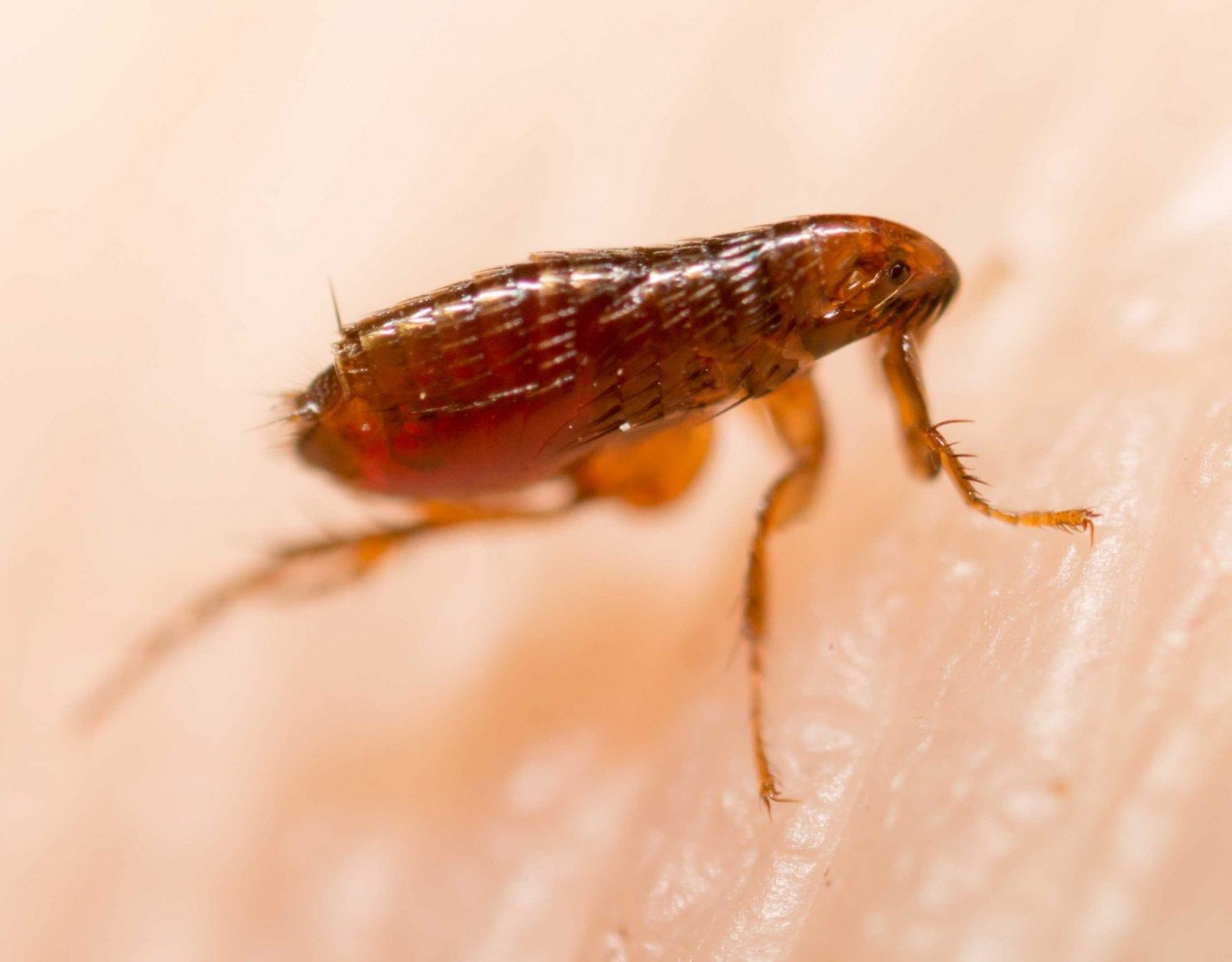 Bed Bug Bites Vs Flea Bites Bed Bug Exterminators