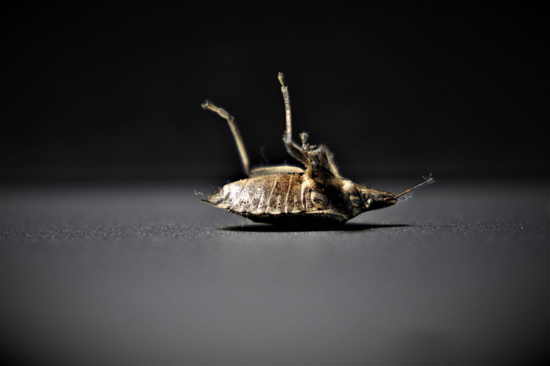 Dead bed bug lying on its back