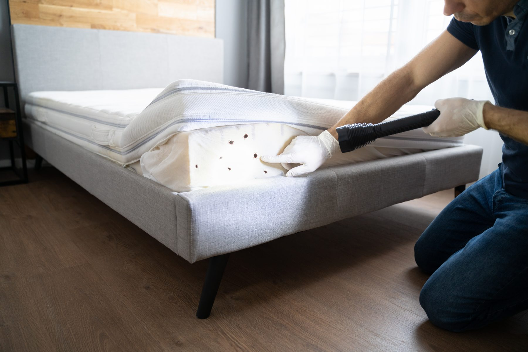 Man pointing out bed bugs with flashlight on inside of mattress